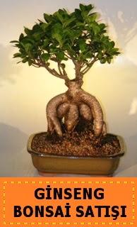 Ginseng bonsai satışı japon ağacı  Şırnak 14 şubat sevgililer günü çiçek