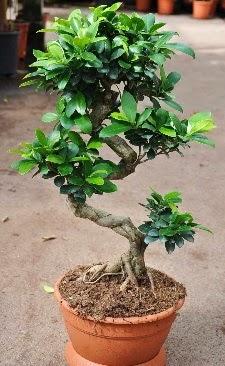 Orta boy bonsai saksı bitkisi  Şırnak cicek , cicekci