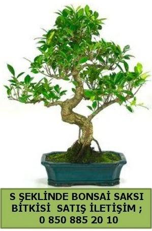 İthal S şeklinde dal eğriliği bonsai satışı  Şırnak çiçek , çiçekçi , çiçekçilik