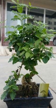 Bonsai japon ağacı saksı bitkisi  Şırnak cicekciler , cicek siparisi