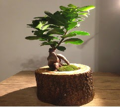 Doğal kütükte Bonsai japon ağacı satışı  Şırnak çiçek siparişi vermek