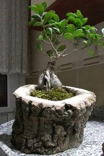 Ahşap kütük içerisinde ginseng bonsai  Şırnak cicek , cicekci