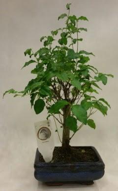 Minyatür bonsai japon ağacı satışı  Şırnak ucuz çiçek gönder