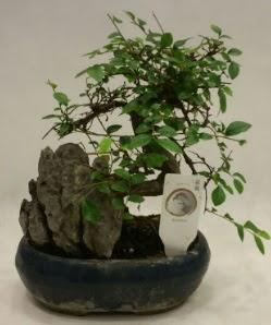 İthal 1.ci kalite bonsai japon ağacı  Şırnak hediye çiçek yolla