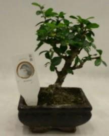 Küçük minyatür bonsai japon ağacı  Şırnak çiçek , çiçekçi , çiçekçilik