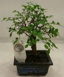 Minyatür ithal japon ağacı bonsai bitkisi  Şırnak hediye çiçek yolla
