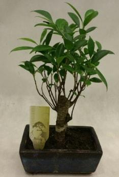 Japon ağacı bonsai bitkisi satışı  Şırnak ucuz çiçek gönder
