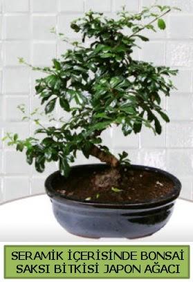 Seramik vazoda bonsai japon ağacı bitkisi  Şırnak internetten çiçek siparişi