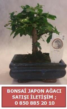 Japon ağacı minyaür bonsai satışı  Şırnak hediye çiçek yolla