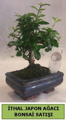 İthal japon ağacı bonsai bitkisi satışı  Şırnak ucuz çiçek gönder