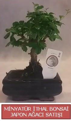 Küçük görsel bonsai japon ağacı bitkisi  Şırnak çiçekçi mağazası