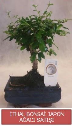 İthal küçük boy minyatür bonsai ağaç bitkisi  Şırnak ucuz çiçek gönder