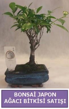 İthal Bonsai japon ağacı bitkisi satışı  Şırnak çiçek gönderme
