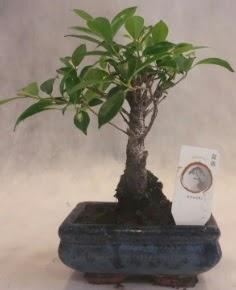 Bonsai ağacı japon ağaç bitkisi  Şırnak çiçek satışı