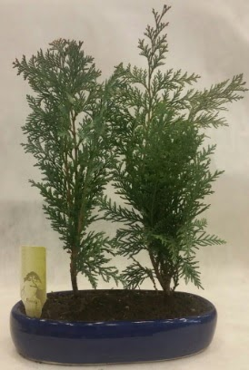 SINIRLI SAYIDA Selvi Ağacı bonsai ikili  Şırnak ucuz çiçek gönder