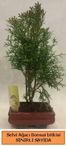 Selvi ağacı bonsai japon ağacı bitkisi  Şırnak hediye çiçek yolla