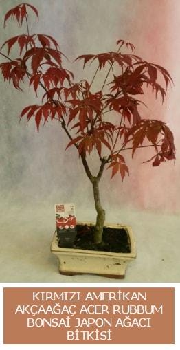 Amerikan akçaağaç Acer Rubrum bonsai  Şırnak hediye sevgilime hediye çiçek