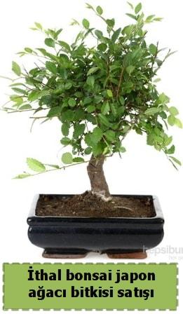 İthal bonsai saksı çiçeği Japon ağacı satışı  Şırnak çiçek gönderme