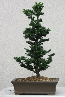 Çam ağacı bonsai bitkisi satışı  Şırnak ucuz çiçek gönder