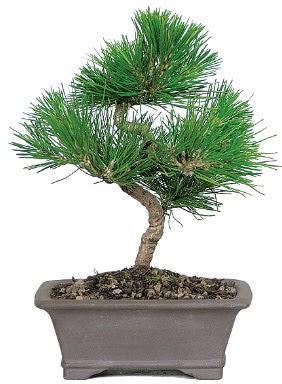 Çam ağacı bonsai japon ağacı bitkisi  Şırnak çiçek , çiçekçi , çiçekçilik
