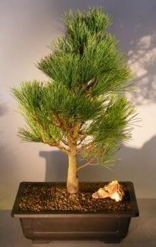 Çam ağacı japon ağacı bitkisi bonsai  Şırnak ucuz çiçek gönder