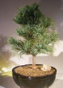 Çam ağacı bonsai bitkisi satışı  Şırnak çiçek siparişi sitesi
