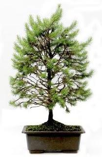 *** STOKTA YOK - Çam ağacı bonsai bitkisi satışı  Şırnak anneler günü çiçek yolla