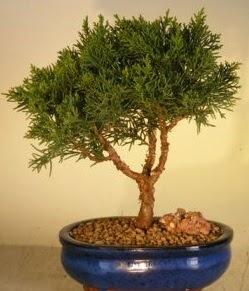 Servi çam bonsai japon ağacı bitkisi  Şırnak çiçek satışı