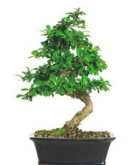 Bonsai bitkisi satışı  Şırnak ucuz çiçek gönder