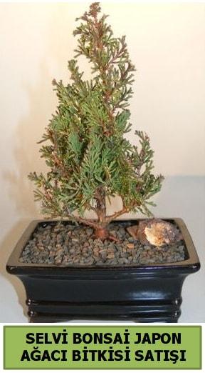 Selvi çam japon ağacı bitkisi bonsai  Şırnak ucuz çiçek gönder