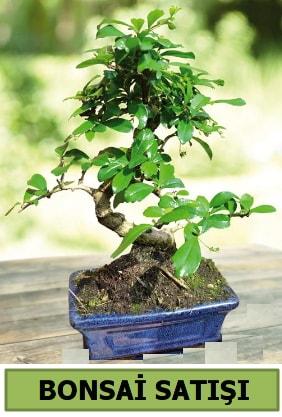 Çam bonsai japon ağacı satışı  Şırnak hediye çiçek yolla