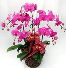 Sepet içerisinde 5 dallı lila orkide  Şırnak çiçek siparişi sitesi