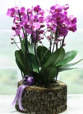 Kütük içerisinde 6 dallı mor orkide  Şırnak çiçek siparişi sitesi