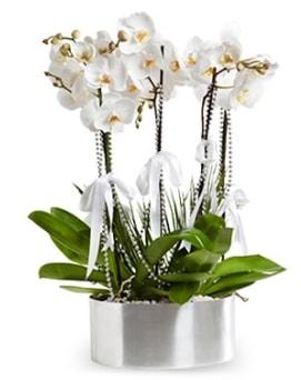Beş dallı metal saksıda beyaz orkide  Şırnak çiçek satışı