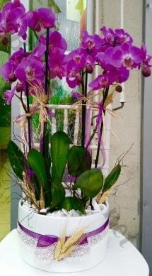 Seramik vazoda 4 dallı mor lila orkide  Şırnak uluslararası çiçek gönderme