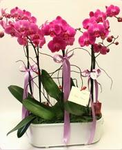 Beyaz seramik içerisinde 4 dallı orkide  Şırnak çiçek siparişi sitesi