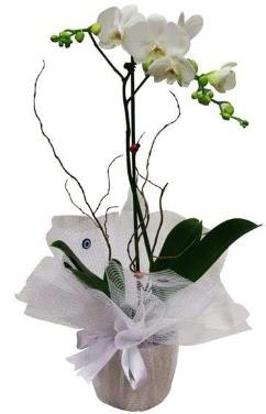 Tek dallı beyaz orkide  Şırnak 14 şubat sevgililer günü çiçek