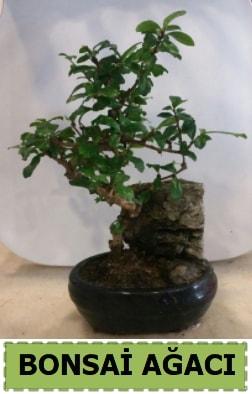 Bonsai ağacı japon ağacı satışı  Şırnak internetten çiçek satışı