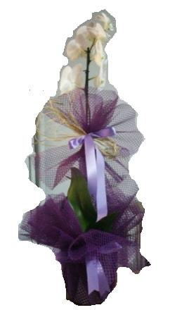 Tek dallı beyaz orkide süper kalite ithal  Şırnak internetten çiçek siparişi