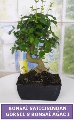 S dal eğriliği bonsai japon ağacı  Şırnak hediye çiçek yolla