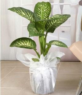 Tropik saksı çiçeği bitkisi  Şırnak hediye çiçek yolla