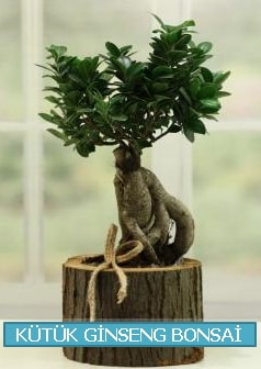Kütük ağaç içerisinde ginseng bonsai  Şırnak çiçekçi telefonları
