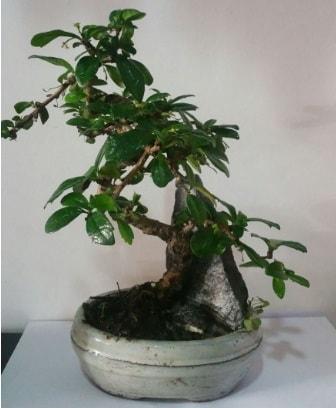 S şeklinde ithal bonsai ağacı  Şırnak çiçek satışı