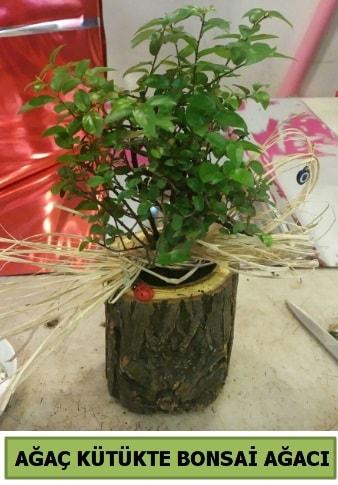 Doğal ağaç kütük içerisinde bonsai ağacı  Şırnak çiçekçi telefonları