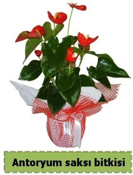 Antoryum saksı bitkisi satışı  Şırnak çiçekçi mağazası
