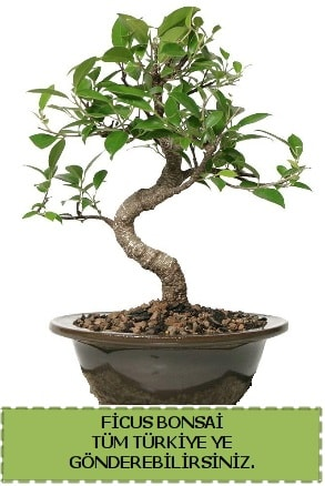 Ficus bonsai  Şırnak çiçekçi telefonları