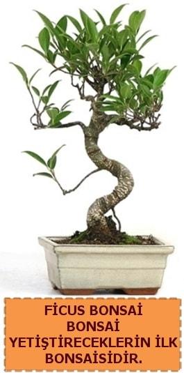 Ficus bonsai 15 ile 25 cm arasındadır  Şırnak çiçek satışı