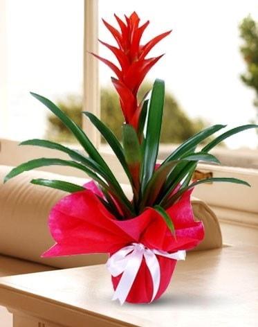 Guzmanya Saksı Çiçeği  Şırnak çiçek satışı