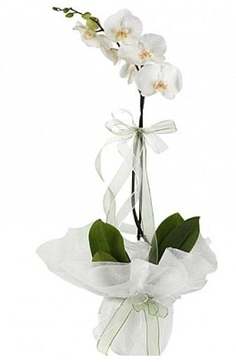 Tekli Beyaz Orkide  Şırnak internetten çiçek satışı