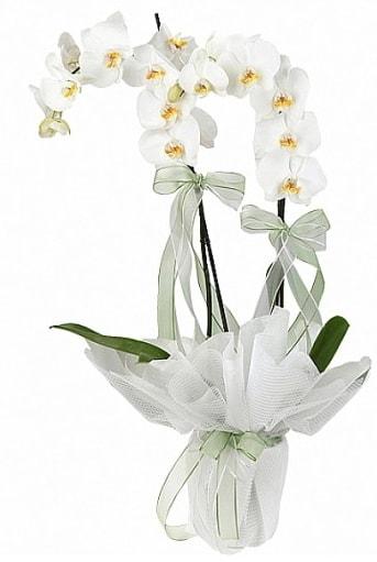 Çift Dallı Beyaz Orkide  Şırnak çiçek servisi , çiçekçi adresleri